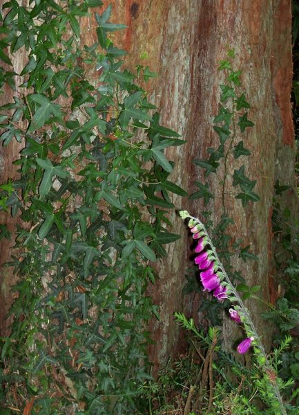ivy (tree)